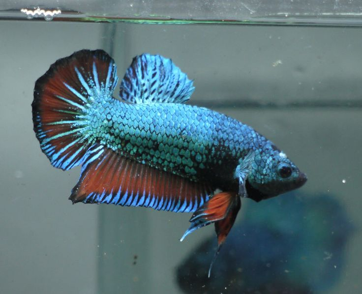 live Tropical Fish-Dragon plakat  betta G25