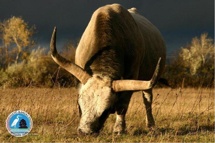 Hungarian, Bull http://jakihirmondo.hu/Akos/html/oshonos2.html
