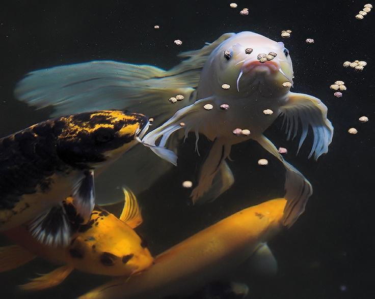 216 best images about ricks designs on pinterest koi art for Japan koi wild