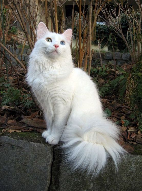 Her Tail Has Only 4 In World Long Hair Cats Cats Kittens