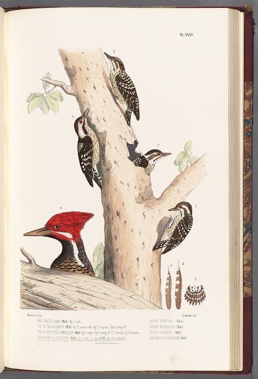 t.3 (1861) - Monographie des picidées, ou Histoire naturelle des picidés, picumninés, yuncinés ou torcols; - Biodiversity Heritage Library