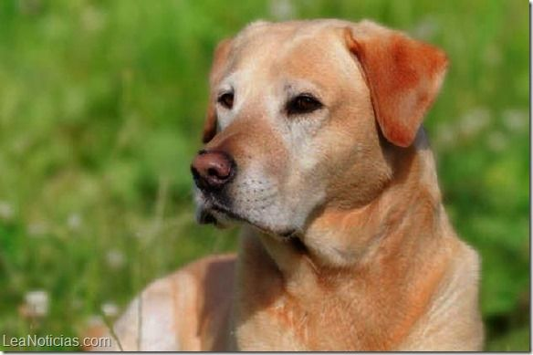 ¿Cuáles son los perros ideales para los niños? - http://www.leanoticias.com/2014/12/09/cuales-son-los-perros-ideales-para-los-ninos/