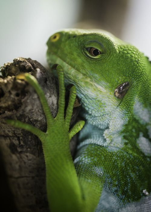 The Fiji banded iguana is considered seriously endangered due to habitat destruction and predation. We're working to save this species and #EndExtinction | Eye to Eye by Paul E.M.