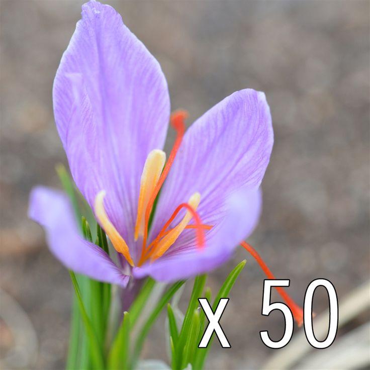 Le Crocus sativus, plus connu sous le nom de bulbe à safran, en BIO !