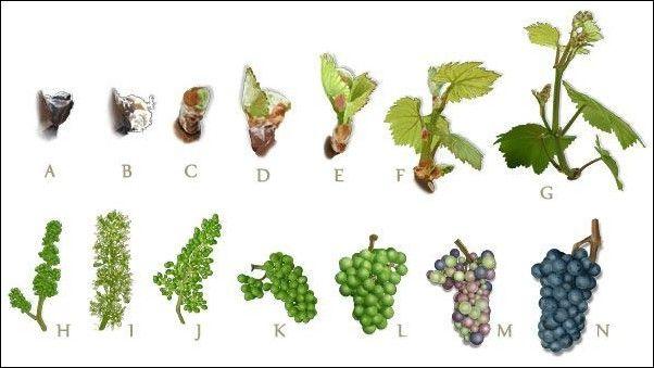 Fases del estado vegetativo de la #viña #vino