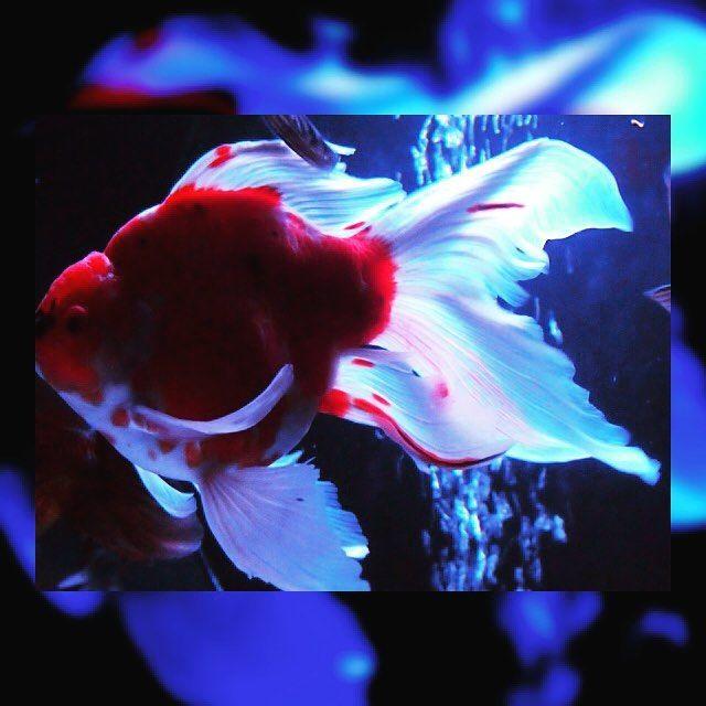ぎょぴちゃん  先日日本橋で開催されている ナイトアクアリウムへ  #ぎょぴちゃん #ナイトアクアリウム #アートアクアリウム #日本橋  #日本橋アートアクアリウム2016 #金魚 #アーティスティック #デジタル一眼レフ  #カメラ女子 #art #goldfish #金鱼 #Золотаярыбка #艺术