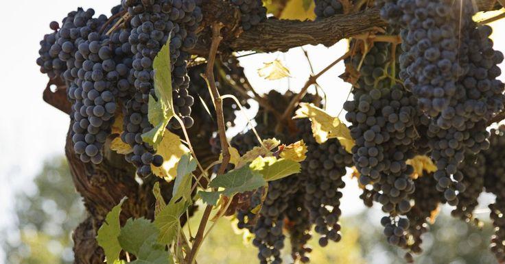 Como semear uma videira. Embora os enxertos sejam o modo mais seguro de semear videiras, também é possível cultivar uvas a partir de sementes. O primeiro método consiste em simplesmente jogar uvas maduras ou passadas na área que você deseja que elas cresçam e deixar a natureza seguir seu rumo. A uva silvestre é a melhor para difusão. O segundo método de semeadura, ...
