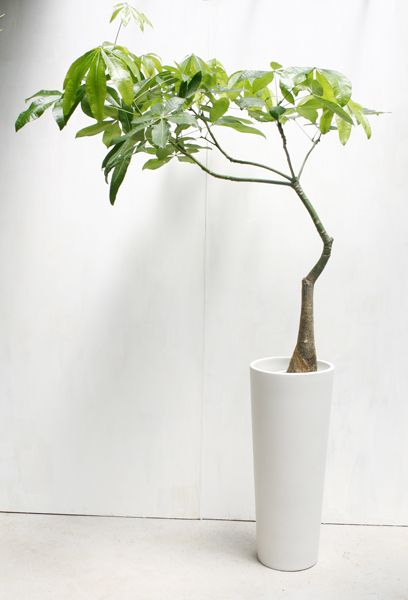 """Common Pachira Aquatica (""""money tree"""") (sold in Home Depot, Chinatown, Garden District) can be made much more interesting with pruning and shaping."""