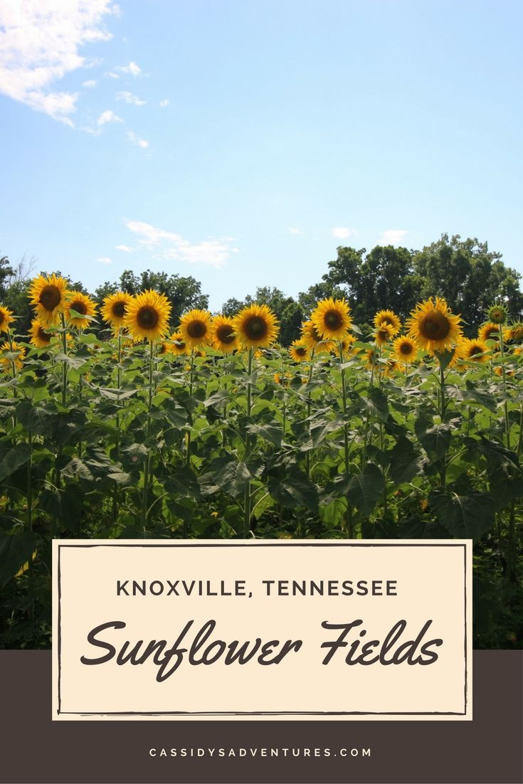 Sunflowers always seem like the happiest of flowers, to me – the way they stand tall and proud, facing the sun and radiating bright yellow. In Knoxville, Tennessee, just outside of Ijams Nature Center, lies this 25 acre field abundant with sunflowers, owned by the Forks of the River Wildlife Management Area. Mid July is the perfect time to visit, as sunflowers are in full bloom. It is a double win for the city of Knoxville – because it's beautiful and people enjoy it, but also because it is…