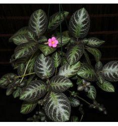 Begonia Rp 21,000