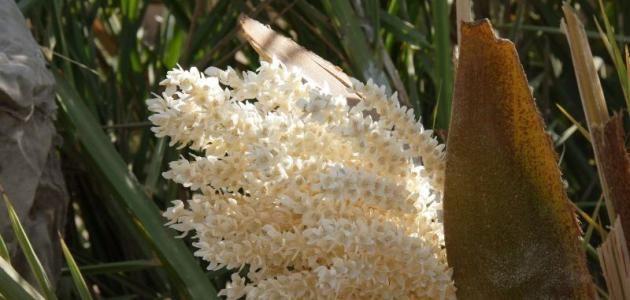 تحاميل طلع النخل للحمل Plants Pollen Palm