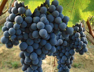 152 best images about savez vous planter des choux on pinterest vitex agnus castus - Planter vigne raisin de table ...