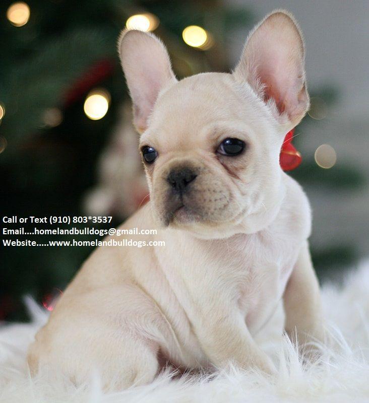 Cream Champion Akc French Bulldog Puppy For Sale Call Text 910