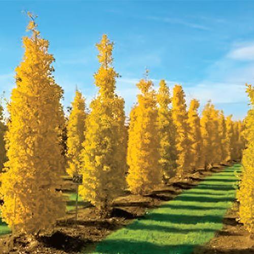 148 Best Columnar Trees Images On Pinterest Landscaping 400 x 300