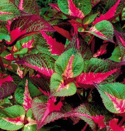 Magilla S Leaves Combine Colors Of Hot Pink Cream Mint