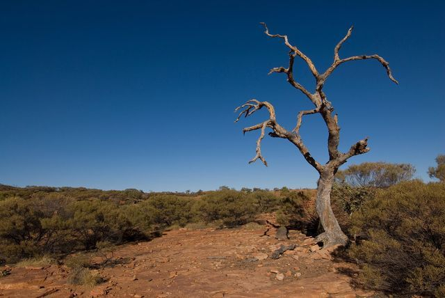 Dead Tree in King's Canyon, Northern Territory, Australia