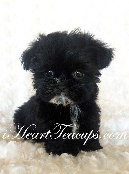 "Teacup Morkie Puppy for sale • Rare JET BLACK Teddy Bear face Morkie ""CHANEL"""