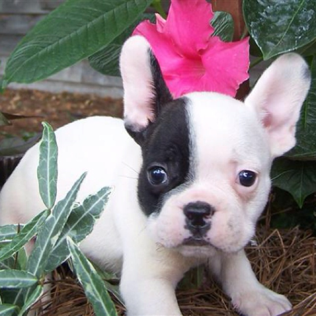 more baby french bulldogs