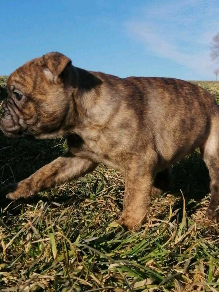 Kleine Bulldogge Franzosische Bulldogge Mix L In Bayern Simbach Franzosische Bulldogge Mix Franzosische Bulldogge Bulldogge