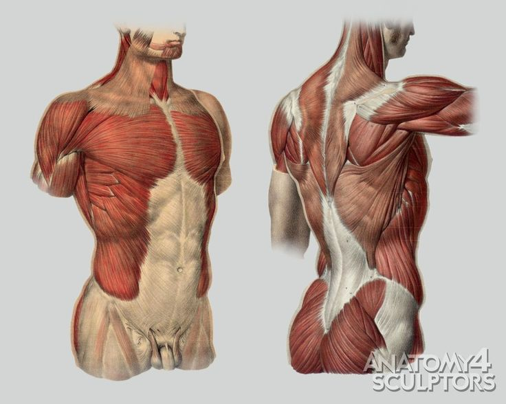 71 Best Male Anatomy Reference Images On Pinterest Human Anatomy
