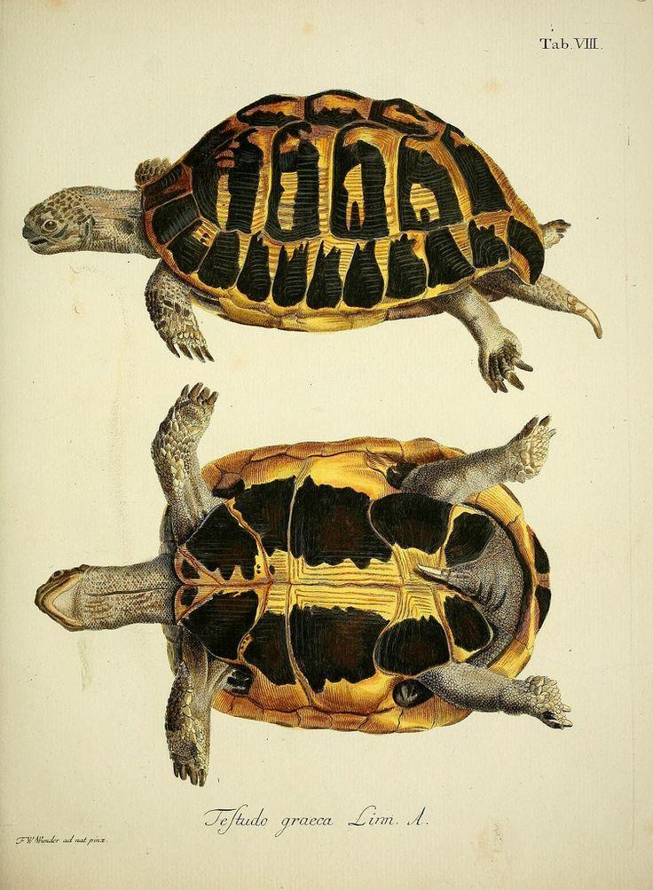 illustration au naturel : tortue