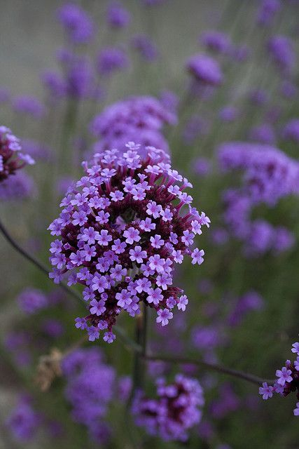 Verbena bonairiensis--I want this!!