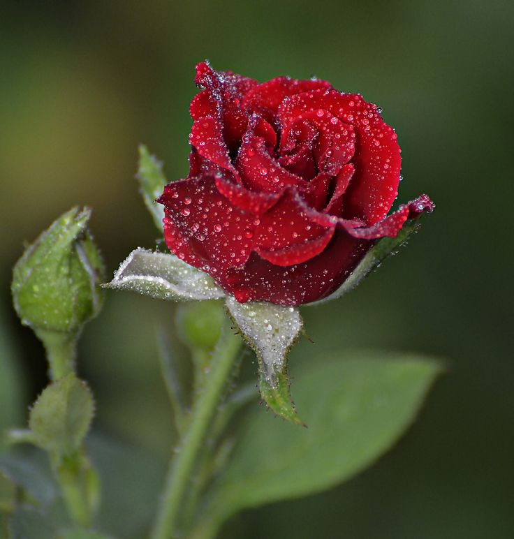For you by Farooq Muhammad on 500px   TRANDAFIRI   Pinterest   Red roses, Roses and Photos