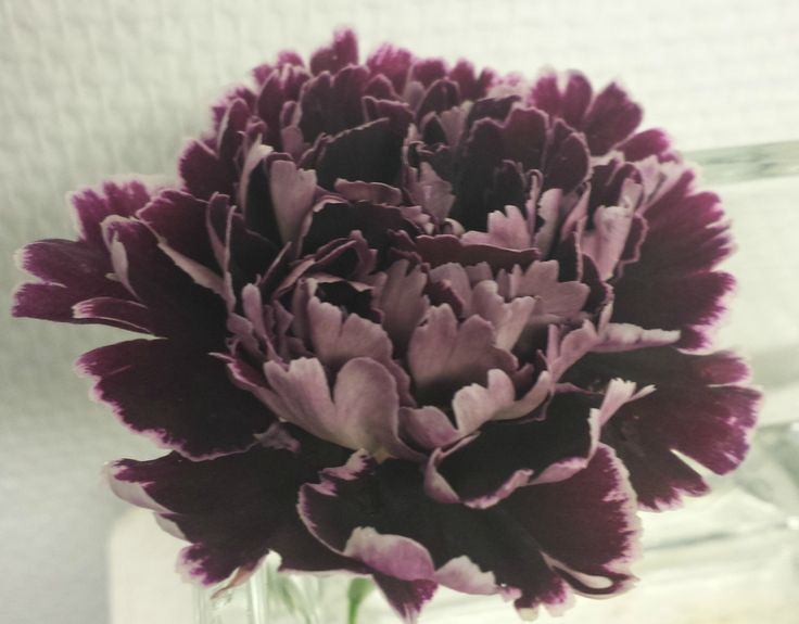 Nellik - Dianthus