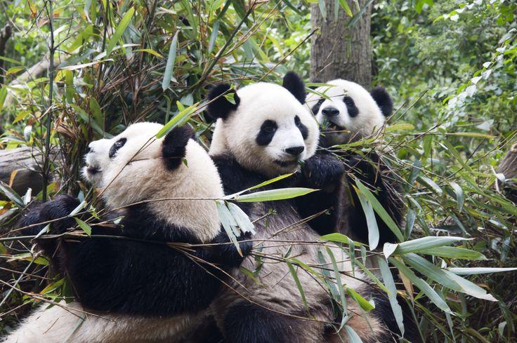 Aasiassa elävät isopandat ovat uhanalaisia mm. siksi, että ihmiset tuhoavat metsiä, joissa isopandat elävät.