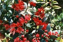 Rata trees, along with the pohutukawa, are one of the best known native trees in New Zealand. The rata and pohutukawa belong in the myrtle family of trees. Other members of this family include manuka, kanuka and swamp maire. There are two main types of rata, the northern and southern.