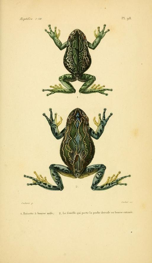 atlas (1854) - Erpétologie générale, ou, Histoire naturelle complète des reptiles
