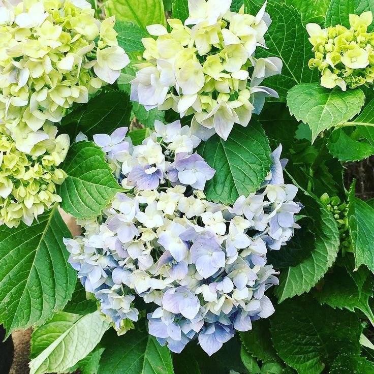 #hydrangea in bloom https://goo.gl/VHrY5b #villatinaholidayhomes #villatinaeu #villatina #cilento #followme #like4like #vacation #holidays #travel #flowers  #petal #petals #nature #beautiful #love #pretty #plants #blossom #sopretty #spring #summer #flowerstagram #flowersofinstagram  #flowerslovers #flowerporn #botanical #instablooms #bloom #floweroftheday