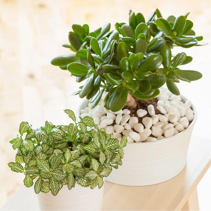 crassula minor plante grasse tendance jardin 2018. Black Bedroom Furniture Sets. Home Design Ideas