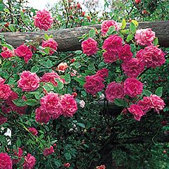 Zéphirine Drouhin climbing rose. 12 feet; thornless; strong old-rose scent; repeat flowering. Available from David Austin Roses.