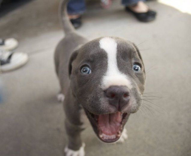 Have You Got Your Smile On This Morning Cute Pibble Puppy Dogmom Dogdad Adoptdontshop Doglover Lovedogs Re Funny Animal Pictures Cute Animals Animals