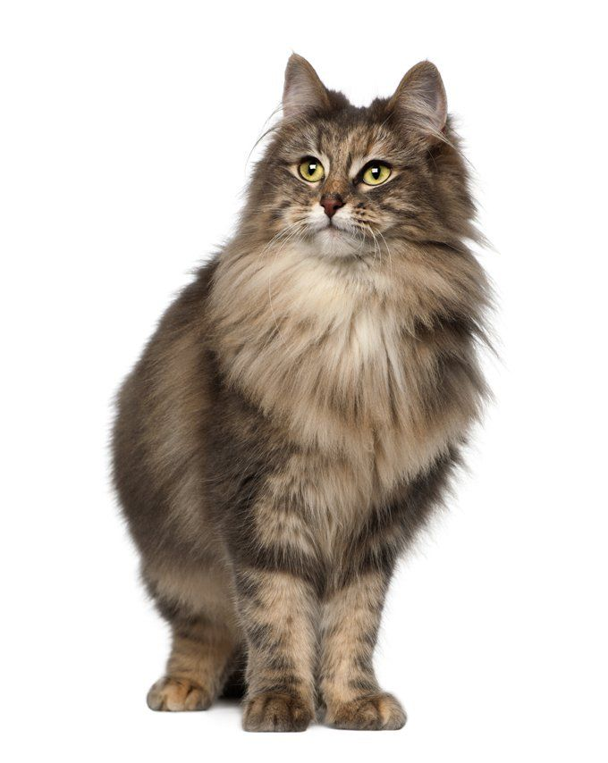 Norwegian Forest Cat Breed Information Pictures Characteristics Facts Kissa Kuvat