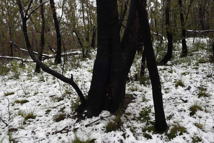 Areas impacted by last years bushfires now covered in snow near Mt Victoria 1.