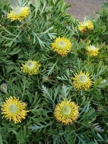 Isopogon Woorikee --- For more Australian native plants visit austraflora.com