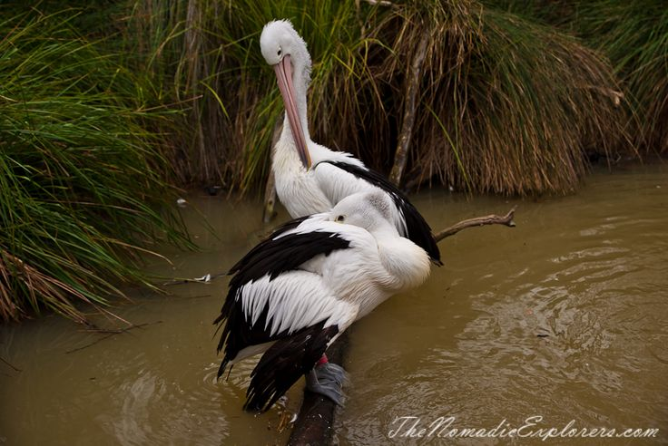 Pelicans in Melbourne Zoo