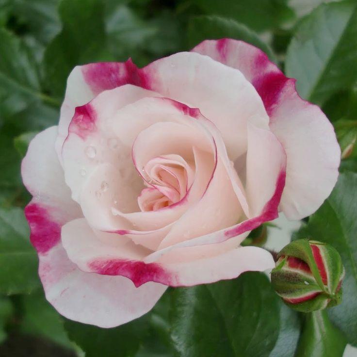 rosenstadt freising korcoptru shrub rose no. Black Bedroom Furniture Sets. Home Design Ideas