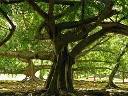 Biggest bengamin tree  For privat and individual tours contact: susantha2803@gmail.com , 0094774057757