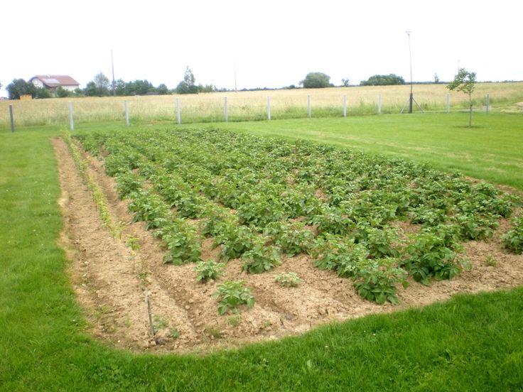 22 best planteuse pommes de terre images on pinterest container plants herb garden planter. Black Bedroom Furniture Sets. Home Design Ideas