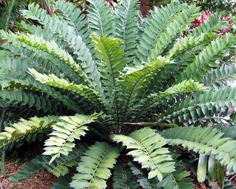 Encephalartos Ferox Zululand Cycad / Broodboom S A no 3,4