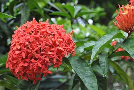 Bunga Soka Merah