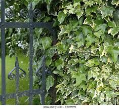 Image result for Hedera helix 'Caecilia'