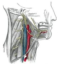 Neurology of the Swallow