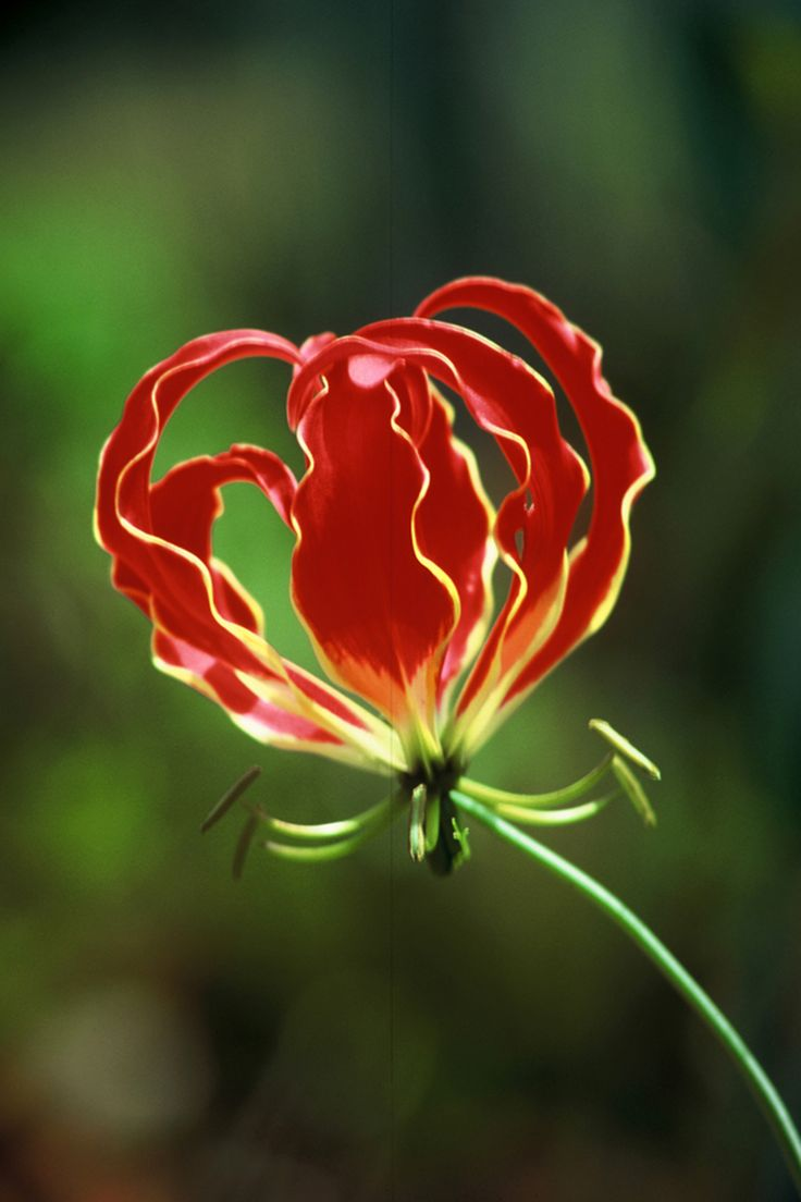 "Flame-Lilly ""gloriosa superba"" . The national flower of Rhodesia (now Zimbabwe). (no attribution - apologies to the photographer...)"