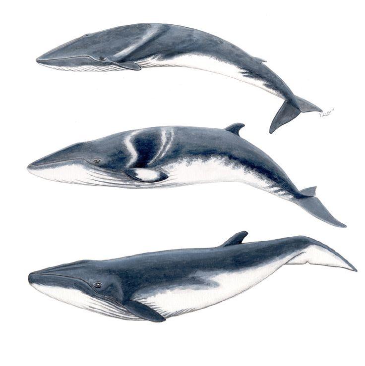 Bebe ballenas: rorcual común, rorcual de Minke y rorcual tropical- Pintura acuarela original by ChloeYzoard on Etsy
