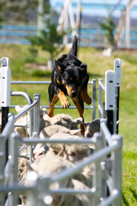 Goulburn Yard Dog Trials 2012