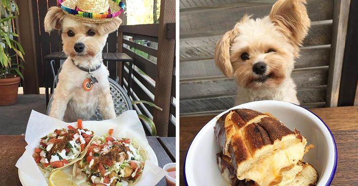 Это Попай — милый песик из Лос-Анджелеса (США), который знает, что такое хорошая еда. Может внешне он и кажется маленьким, но он имеет нереально адский аппетит. Любящие хозяева практически вс…